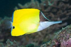 BD-130710-Maldives-0064-Forcipiger-flavissimus.-Jordan---McGregor.-1898-[Forcepsfish.-Amerikansk-näbbfisk].jpg